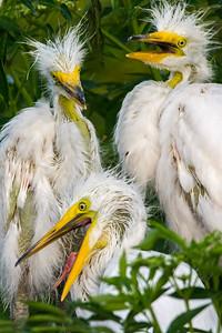 Egret Triplets Squawking