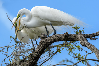 Great Egret Couple - building their nest