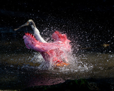 Roseate Spoonbill Bath and Splash
