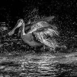 Roseate Spoonbill BAth - Black and White