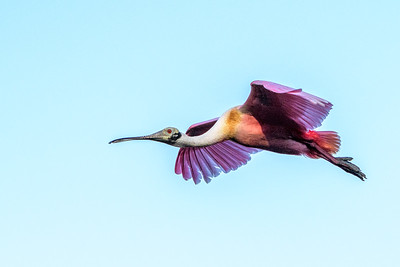 Roseate Spoonbill - fly by