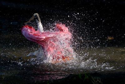 Roseate Spoonbill Bath - Dancing Feathers