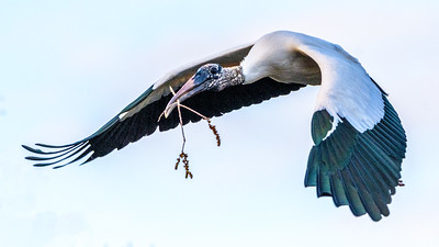 Wood Stork - on it's way