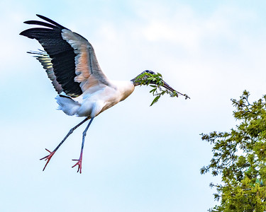 Wood Stork - ready to land