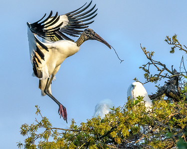 Wood Stork - landing with nesting material - #2