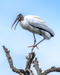 Wood stork - working on his dance steps