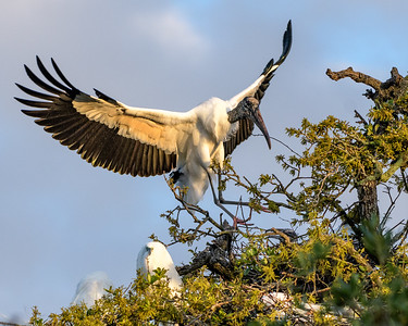Wood Stork - landing with nesting material - #3