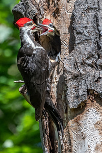 Feeding Time  - Pileated Woodpecker
