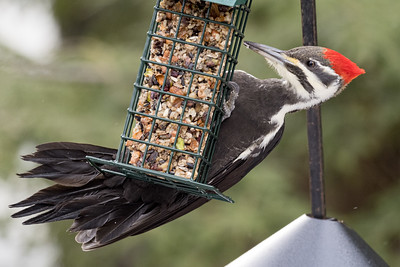 Piliated Woodpecker Tail Feathers