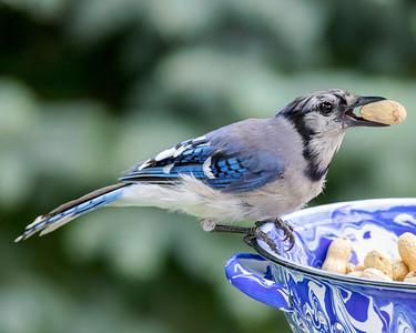 Blue Jay 210810-007
