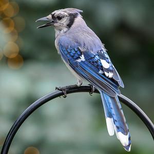Blue Jay 210810-005