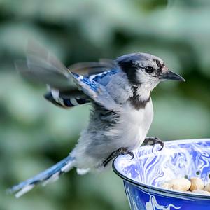 Blue Jay 210812-001