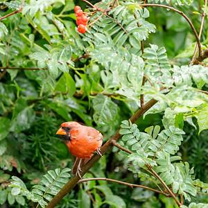 Cardinal 210808-003