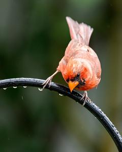 Cardinal 210808-004