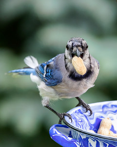 Blue Jay 210810-008