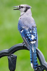 Blue Jay 210810-004