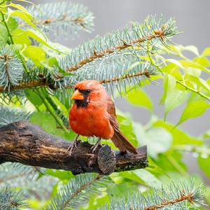 Cardinal 210808-002
