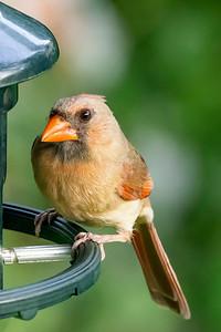 Cardinal 210812-001