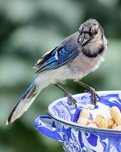 Blue Jay 210810-006