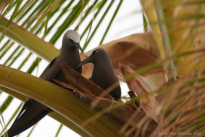 Brown Noddy / Brunnoddy (Anous stolidus).
