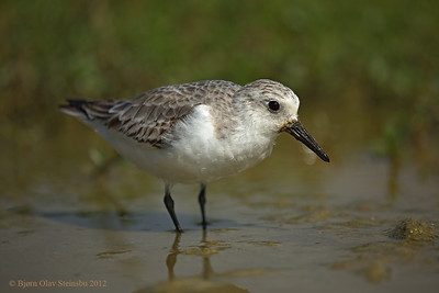 Hunakai / Sanderling / Sandløper (Calidris alba) in winter plumage.
