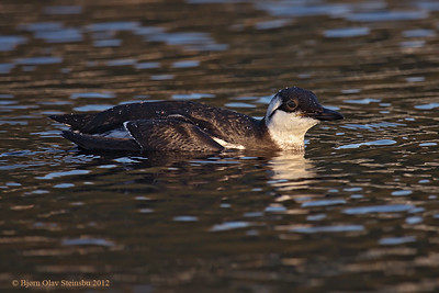Lomvi / Common Murre (Uria aalge), 1st winter.