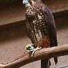 New Zealand Falcon / Karearea / Maorifalk (Falco novaeseelandiae)
