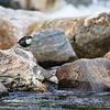 Fossekall / White-throated Dipper (Cinclus cinclus)