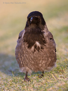 Gråkråke / Hooded Crow (Corvus cornix).