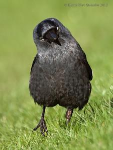 Kaie / Eurasian Jackdaw (Corvus monedula).