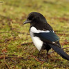 Skjære / Eurasian Magpie (Pica pica).