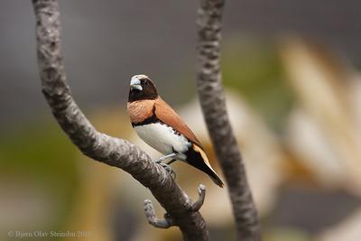 Chestnut-breasted Munia / Sivnonne (Lonchura castaneothorax).