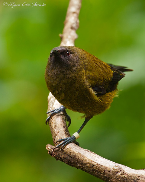 New Zealand Bellbird / Korimako / Maorihonningeter (Anthornis malanura)