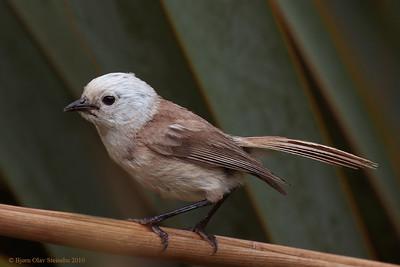 Popokatea / Whitehead / Hvithodemohua (Mohoua albicilla).