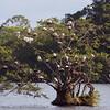 Cattle Egrets / Kuhegrer (Bubulcus ibis).