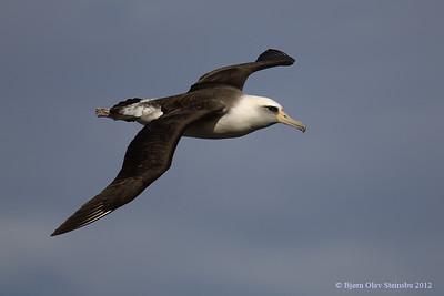 Moli / Laysan Albatross (Phoebastria immutabilis).