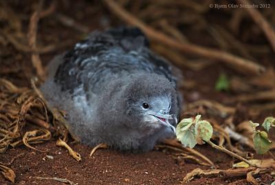 'Ua'u kani / Wedge-tailed Shearwater / Kilehalelire (Ardenna pacifica).