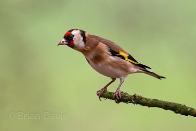 Goldfinch 8