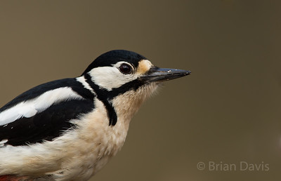 Great Spotted Woodpecker 5