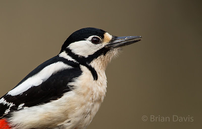 Great Spotted Woodpecker 4