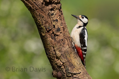 Great Spotted Woodpecker 6
