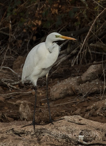 Great White Egret 3