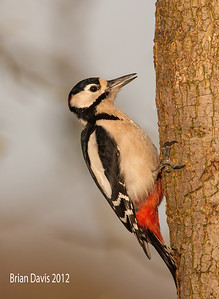 Great Spotted Woodpecker 2
