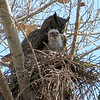 Great Horned Owl - Sepulveda Wildlife Reserve