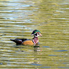 Wood Duck - Sepulveda Wildlife Reserve