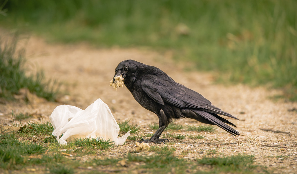Raven scavenges human trash for food