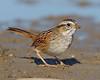 BG-029: Swamp Sparrow