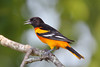 BG-030: Baltimore Oriole