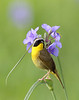 BG-173: Common Yellowthroat/Spiderwort