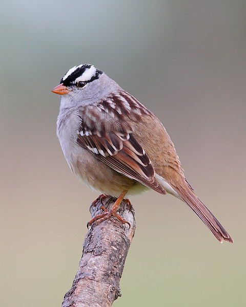 BG-013: White-crowned Sparrow